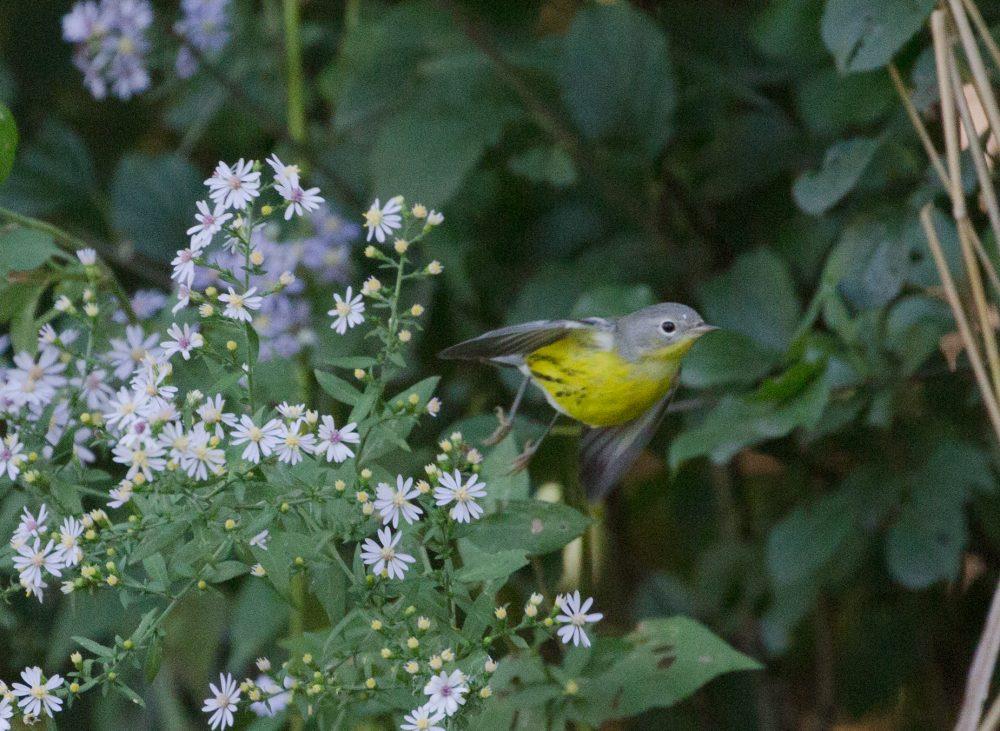 Goldbird Variations